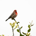Male House Finch serenades is mate