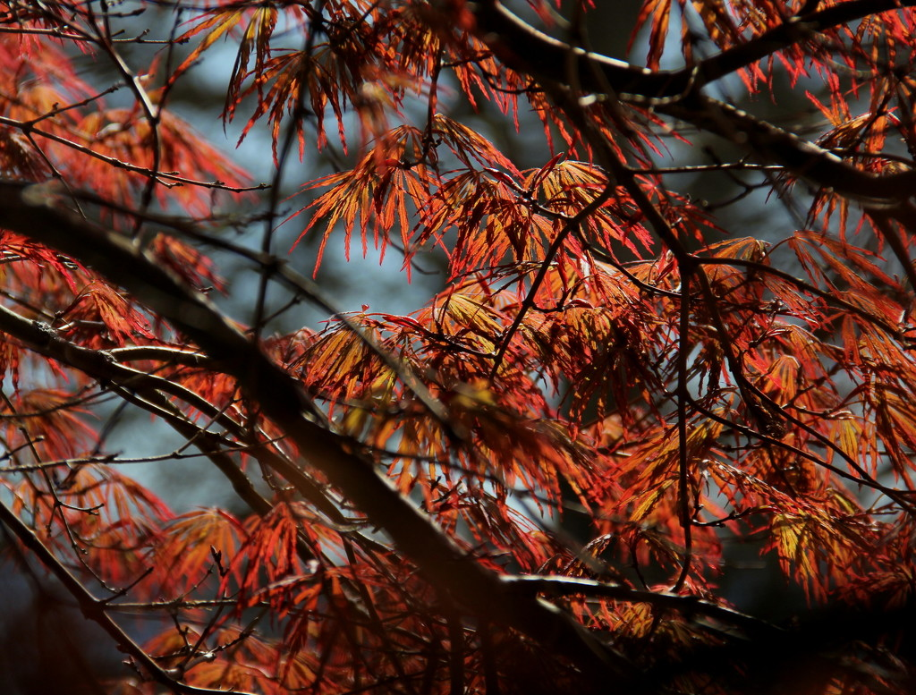 Japanese Maple by calm