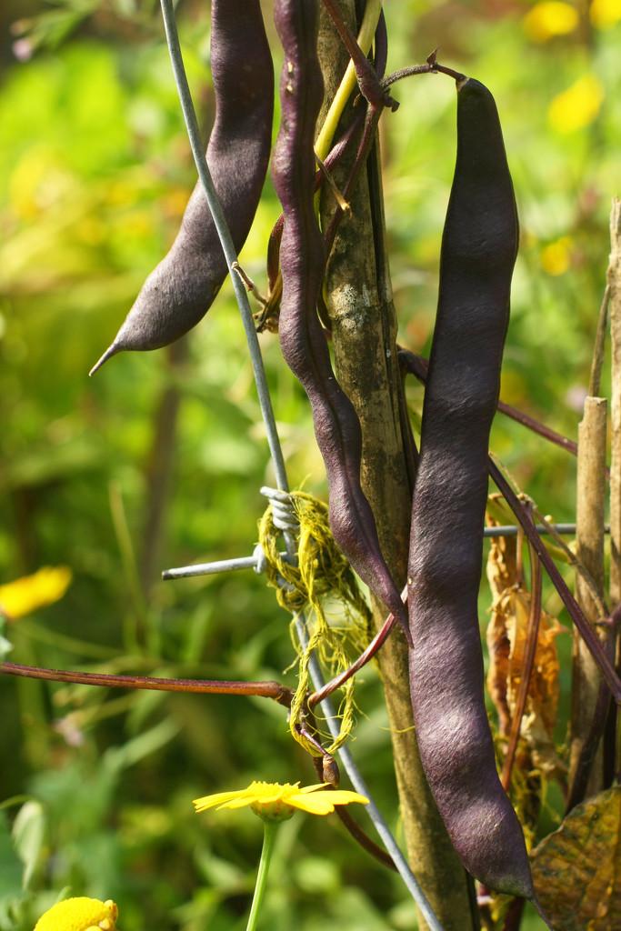 purple king beans by kali66