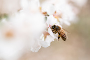 30th Mar 2020 - Bees on cherry blossoms