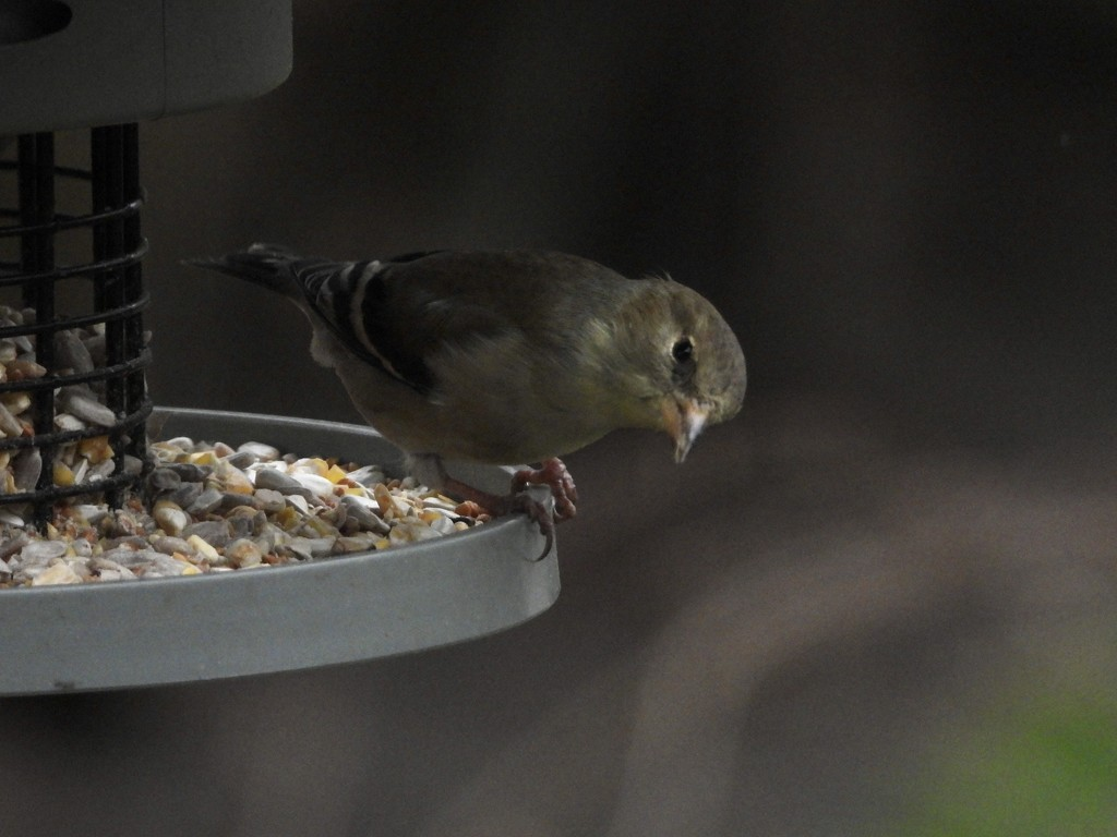 Finch at the feeder  by amyk