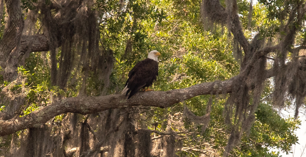 Bald Eagle at Rest! by rickster549