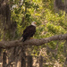 Bald Eagle at Rest!