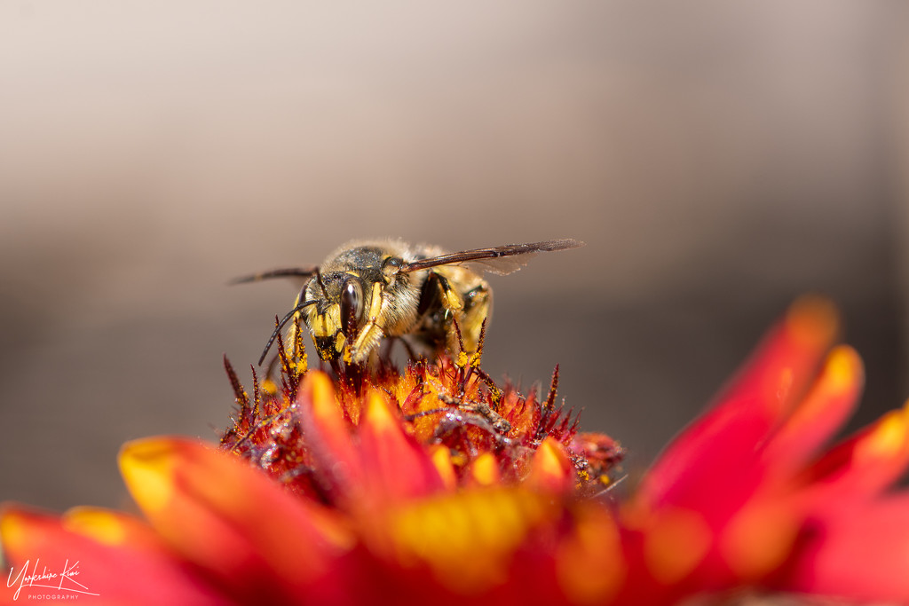 Carder Bee by yorkshirekiwi