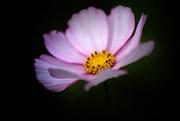 31st Mar 2020 - Cosmos flower