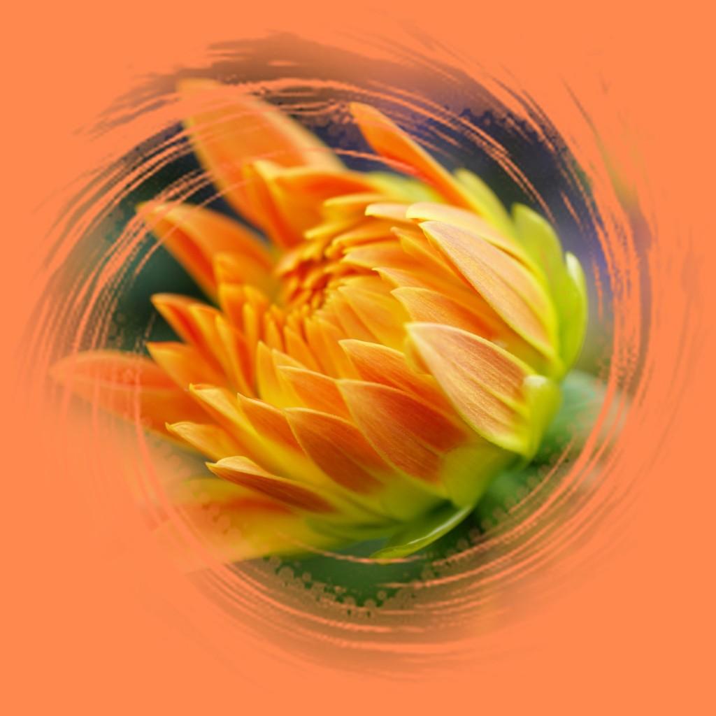 bud of dahlia by quietpurplehaze
