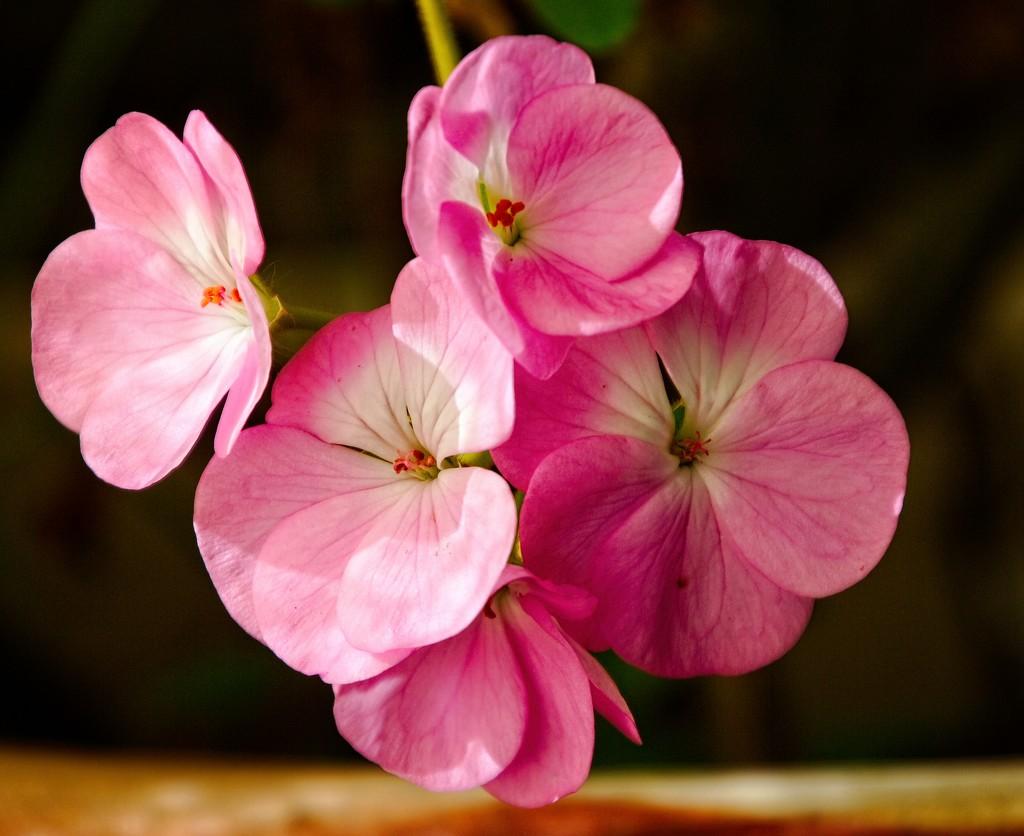 50 shades of pink by kiwinanna