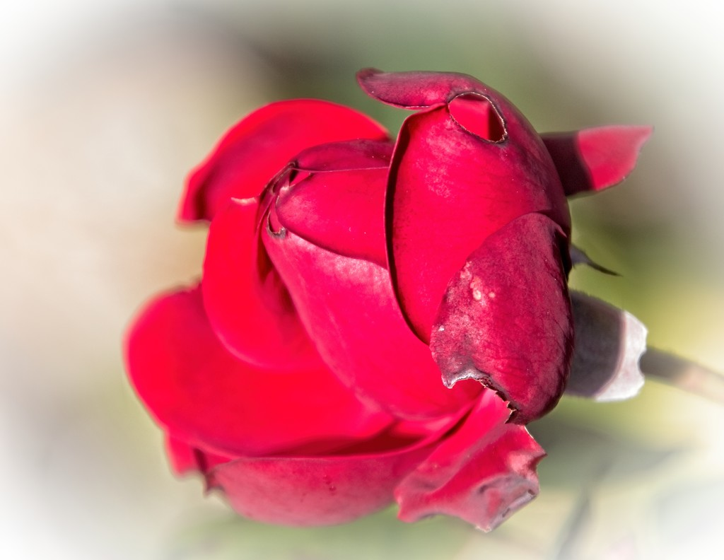 Imperfect red rose by kiwinanna