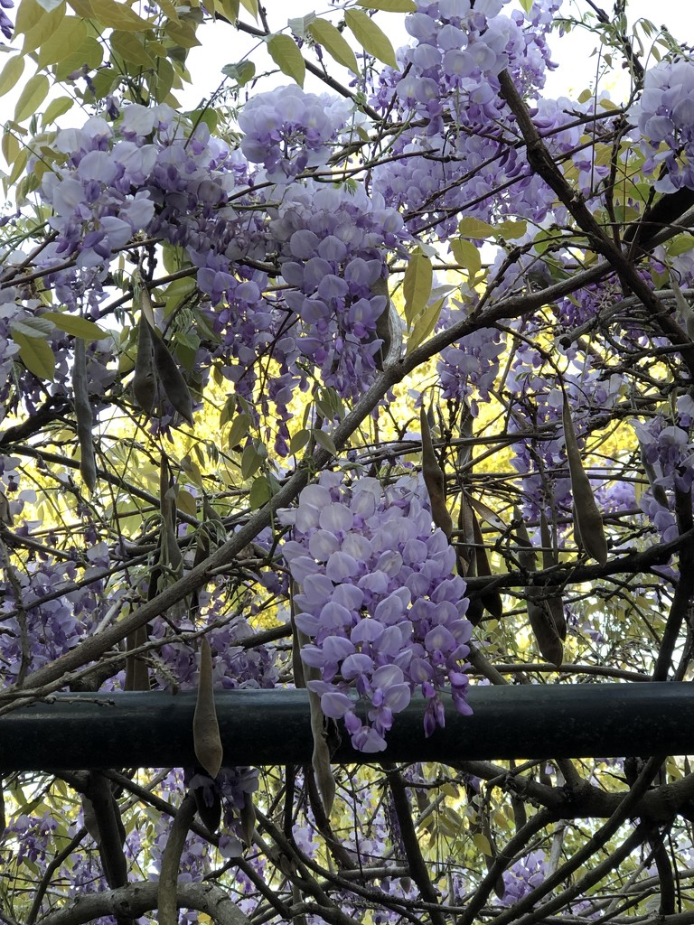 The last of the magnificent purple blooms of wisteria in our area by congaree