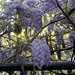 The last of the magnificent purple blooms of wisteria one our area