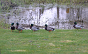 30th Mar 2020 - Mallards