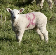 31st Mar 2020 - Good morning, woolly friend