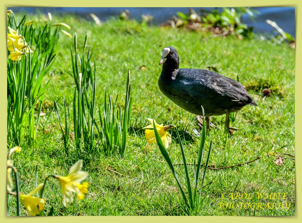 Coot And Daffodils,Stourhead by carolmw
