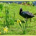 Coot And Daffodils,Stourhead
