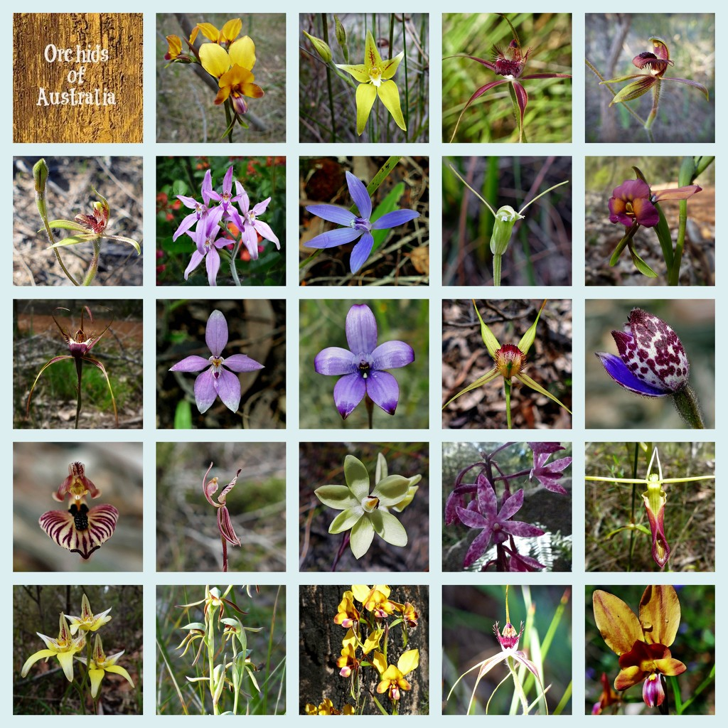 Orchids of Australia by judithdeacon