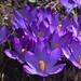 Blue purple crocus