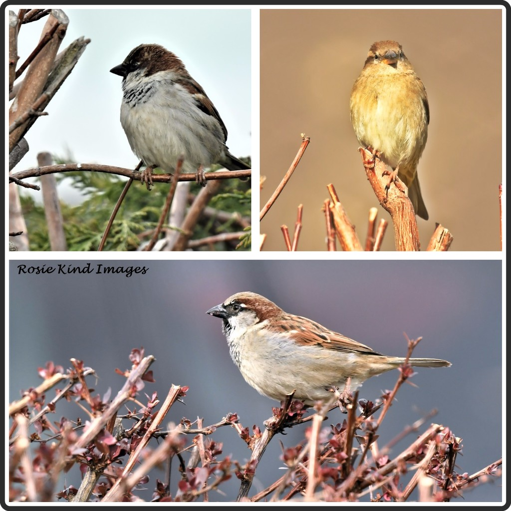 Sparrows today  by rosiekind