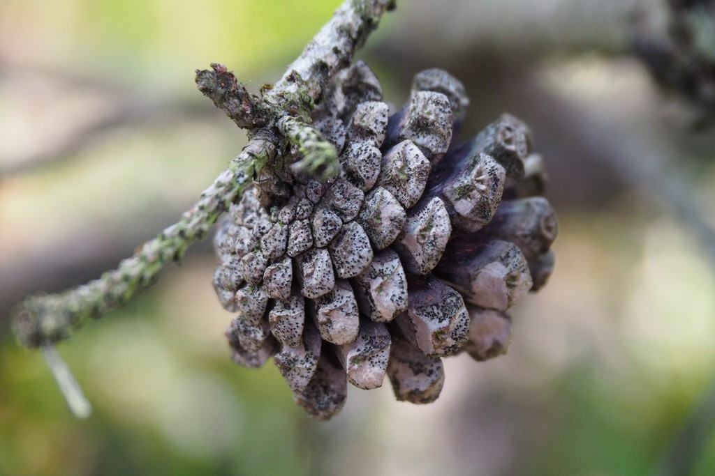 Pine cone by s4sayer