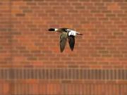 31st Mar 2020 - Red-breasted merganser in flight by bricks