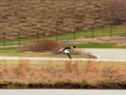 31st Mar 2020 - Red-breasted merganser in flight