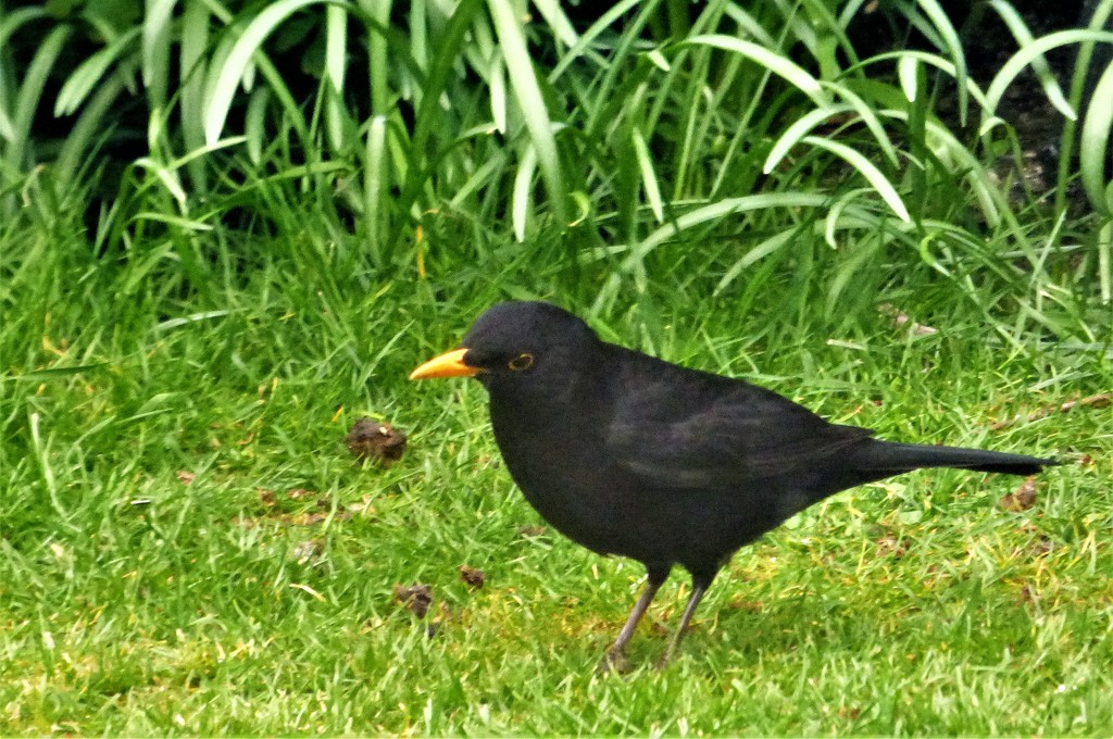 Mr Blackbird  by beryl