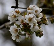 1st Apr 2020 - Cherry Blossom