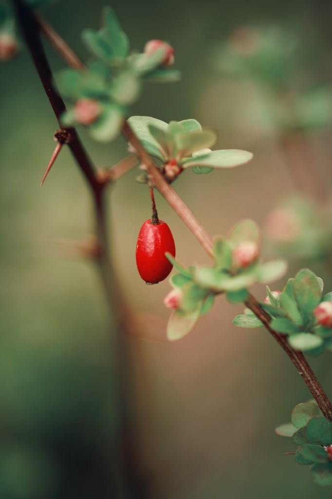 Thorn, Berry and Buds by mzzhope