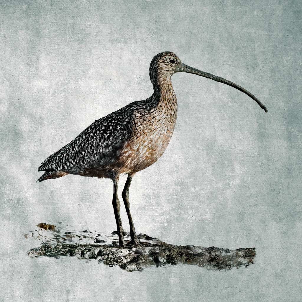 Long-billed Curlew by mikegifford