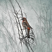 31st Mar 2020 - House Finch
