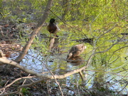 1st Apr 2020 - Male Looking at Female Duck