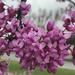 PURPLE redbud tree