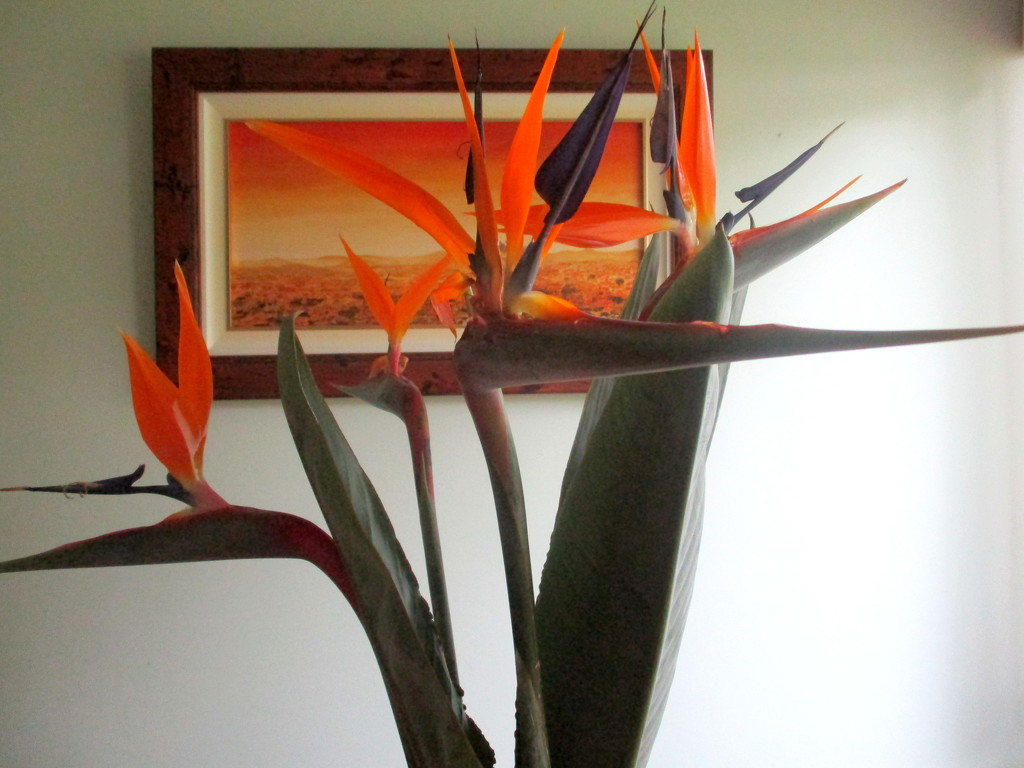 Bird of Paradise From my garden by 777margo