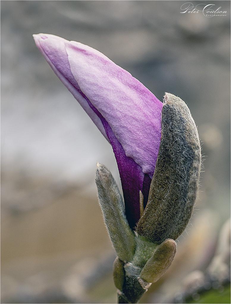 Macro Magnolia by pcoulson