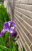 1st Apr 2020 - Iris on my health walk