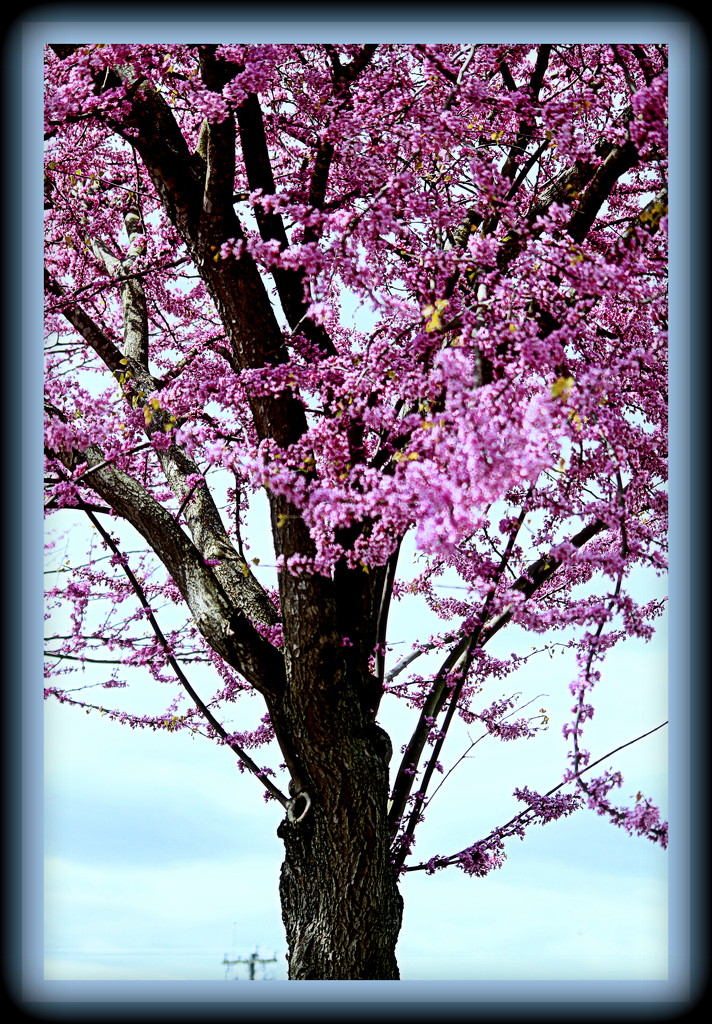 Another Red Bud by vernabeth