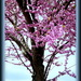 Another Red Bud