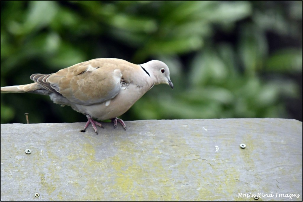 A rather tatty looking collared dove by rosiekind
