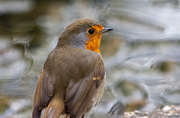2nd Apr 2020 - Robin by the pond