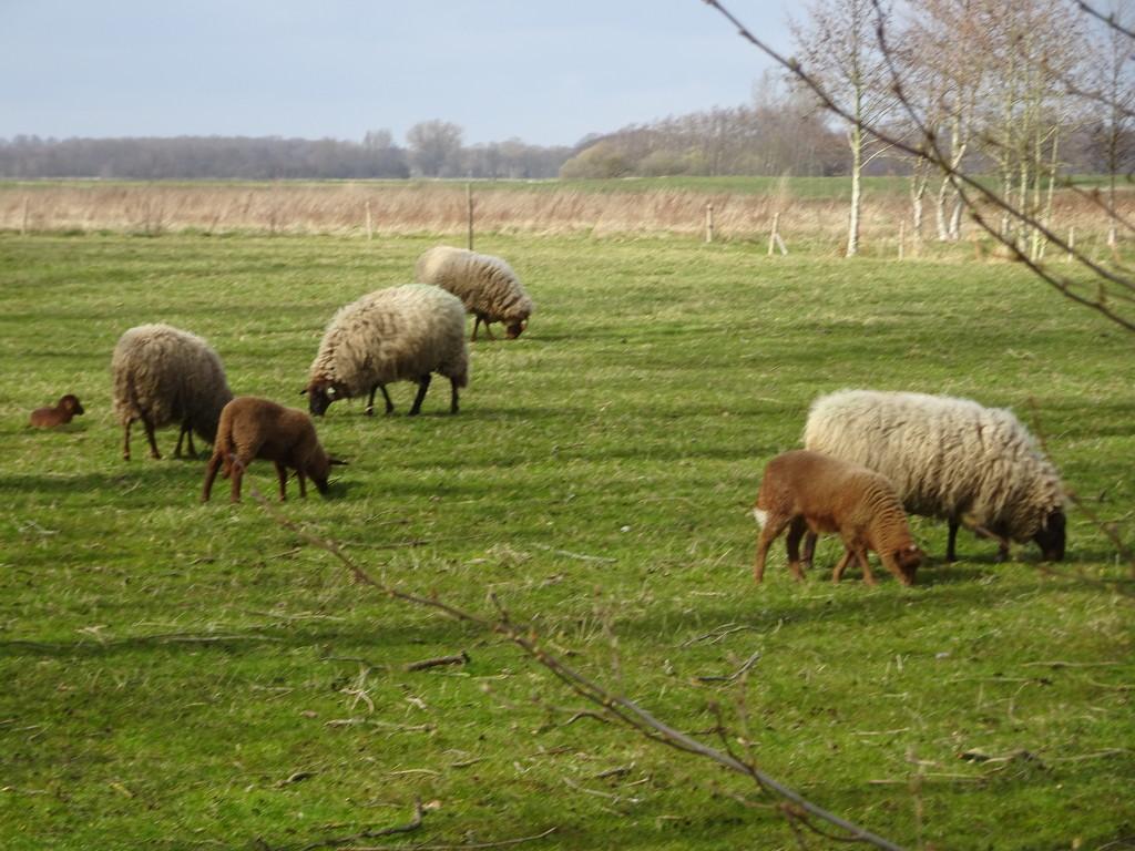 sheep and lambs by gijsje