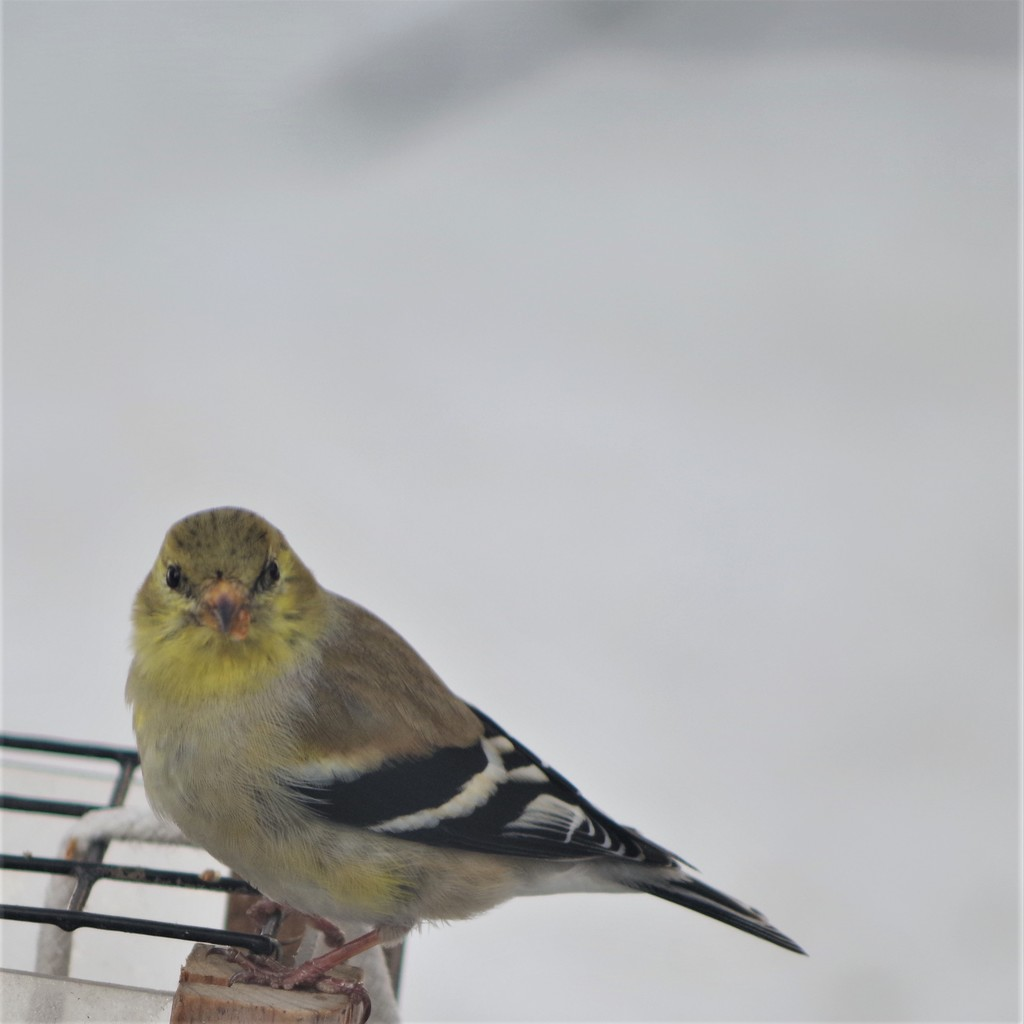 American Goldfinch in winter plumage by radiogirl