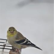 3rd Apr 2020 - American Goldfinch in winter plumage