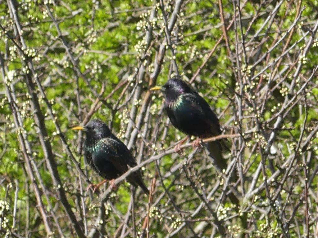 2 Blackbirds by snoopybooboo