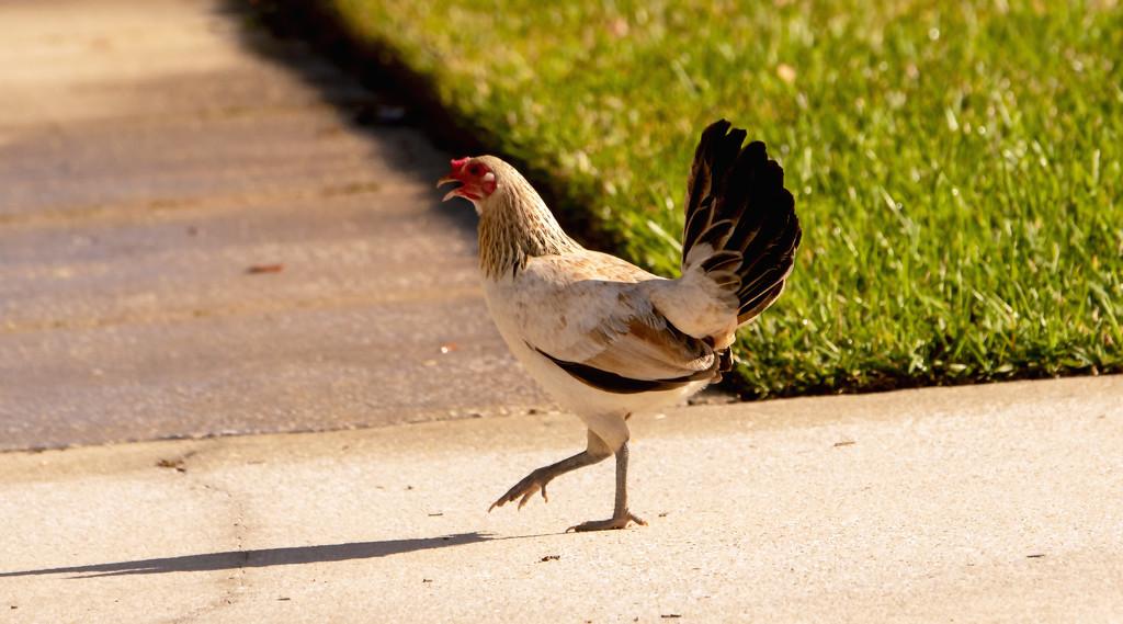 Lost Chicken! by rickster549