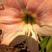 Amaryllis Flower!