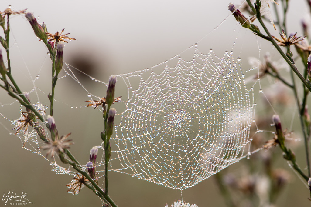 Webs by yorkshirekiwi