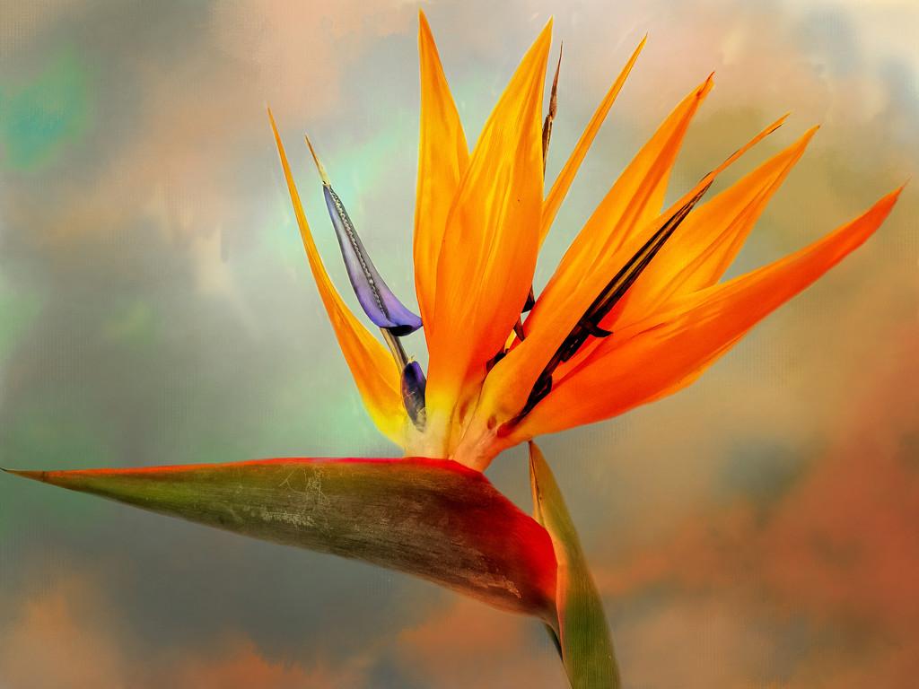Strelizia - Bird of Paradise by ludwigsdiana