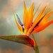 Strelizia - Bird of Paradise