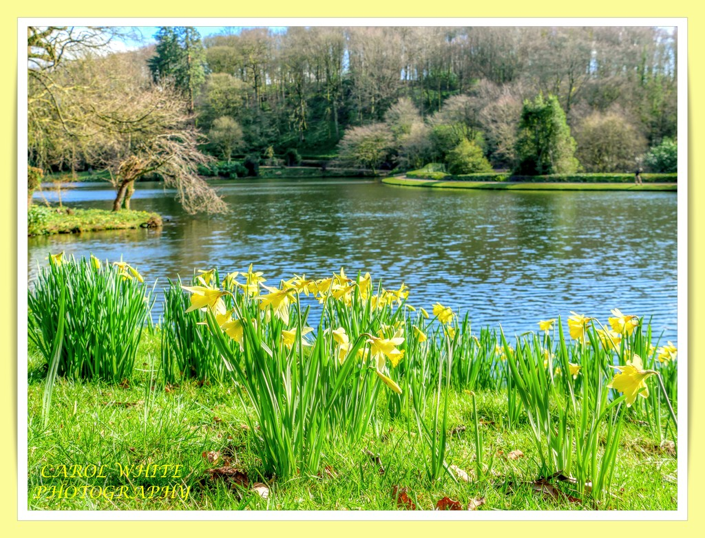 Daffodils At Stourhead by carolmw