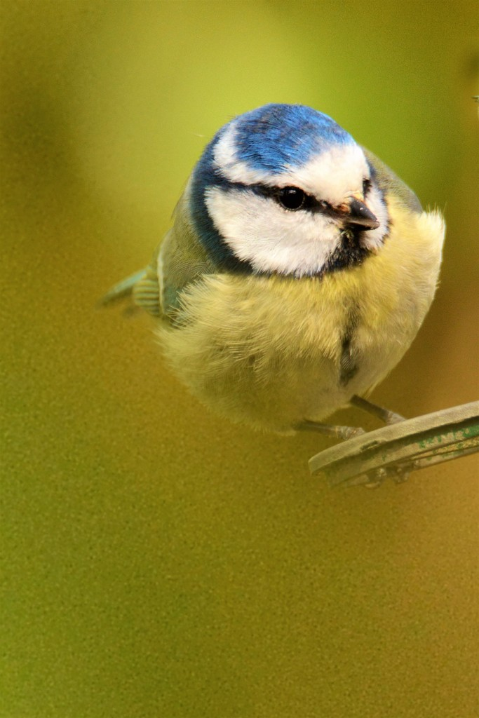 Bluetit ........ by ziggy77