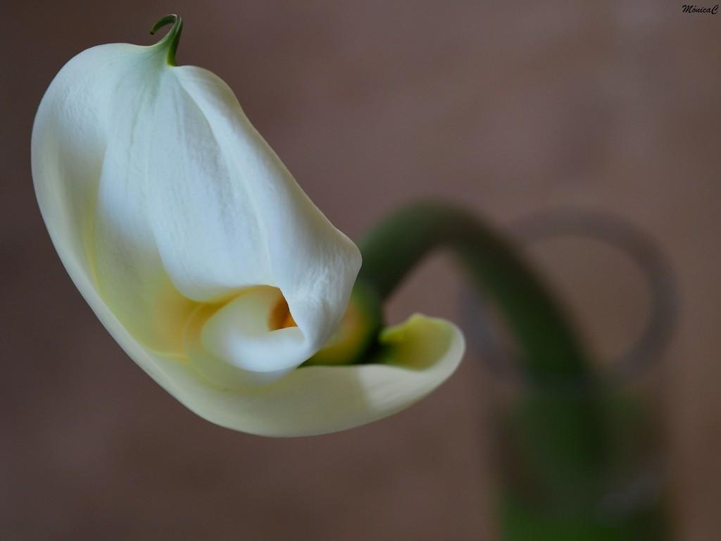 Calla lily  by monicac